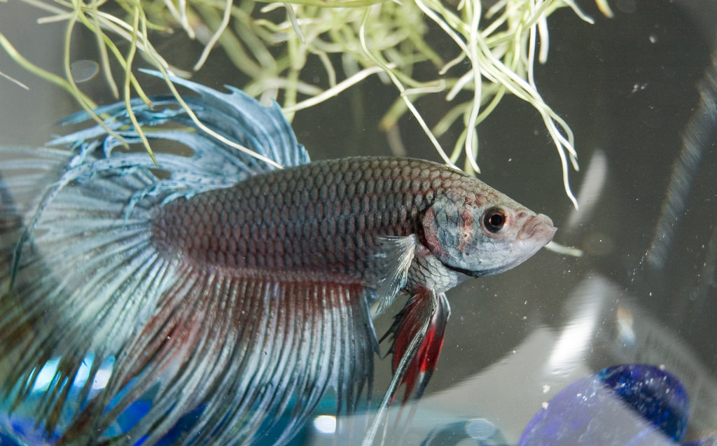 Things to Consider if You Want a Pet Fish